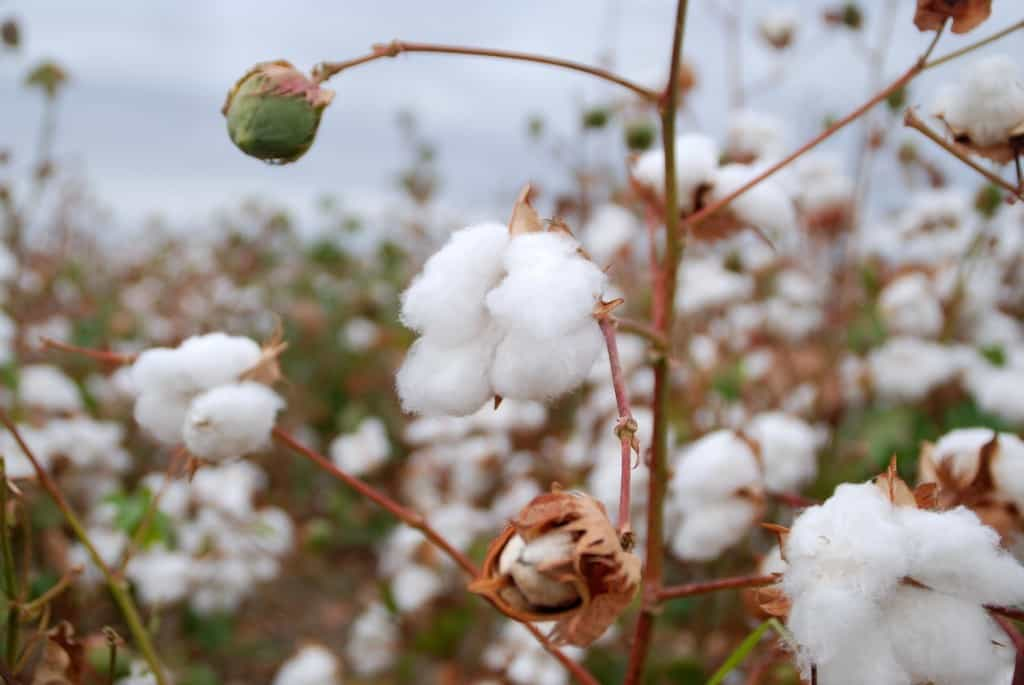 There are several types of cotton including Egyptian, Supima / Pima (USA), other locations, and organic varieties of the above.