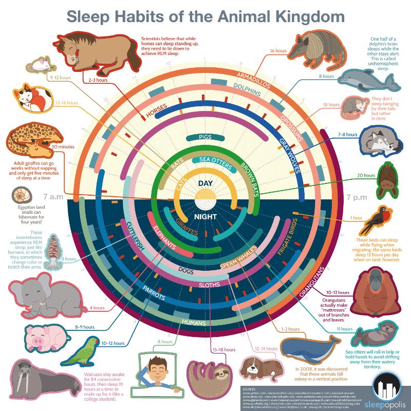 Sleep Habits Of The Animal Kingdom Infographic Sleepopolis