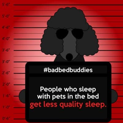 bad pets sleeping habits poodle dog 1