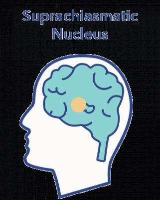 Circadian rhythm article, SCN in brain