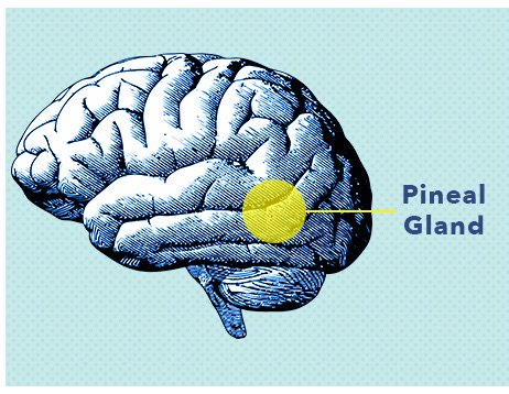 Pineal Gland Graphic