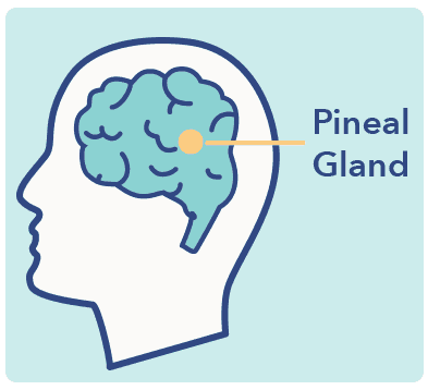 Sleep Education article graphic, pineal gland