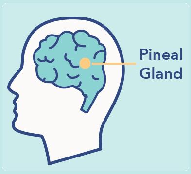 SO_MicrosleepArticleGraphics_PinealGland Microsleep – Symptoms, Causes, and Treatment