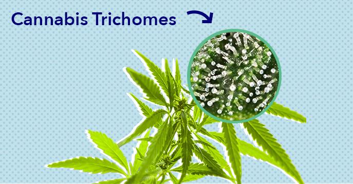 CBD Trichromes