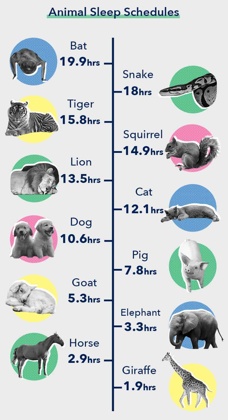 Animal Sleep Schedule Infographic